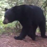 <strong>VIDEO: Camper huye del oso negro en North Vancouver</strong>